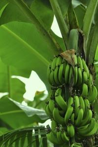 Zelené banány