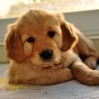 Fenomén jménem pes