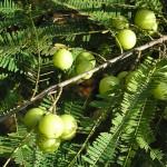 Amla – přírodní péče o vlasy a tělo (1. část)