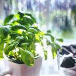 Chcete být stále zdraví? Pěstujte bylinky